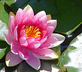 pink_water_lily1